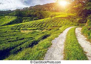 Tea meadow with road