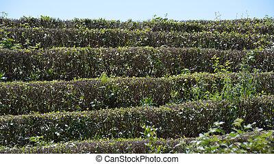 Tea on the bushes