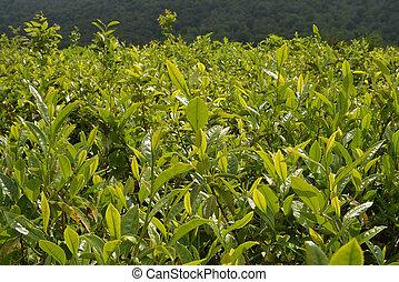 Tea on the plantation