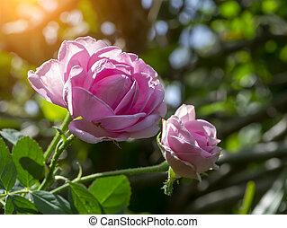 tea., op, damast, afsluiten, rose kwam op, kroonbladen