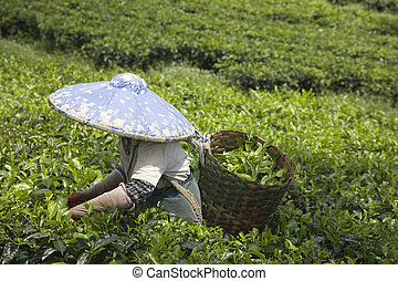 Tea picker on a tea plantation in Puncak, Java, Indonesia