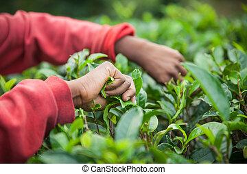 Authentic detail on hands of tea picker on Sri Lanka (Ceylon).