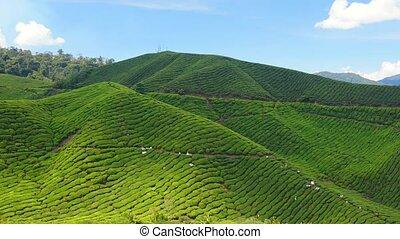 tea plant time lapse