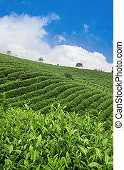 tea plantation against the blue sky