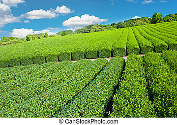 Tea plantation - Beautiful fresh green tea plantation at ...