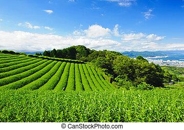Tea plantation - Beautiful fresh green tea plantation at...