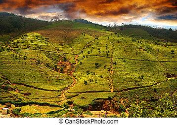 Tea plantation - Beautiful sunset over the Green tea ...