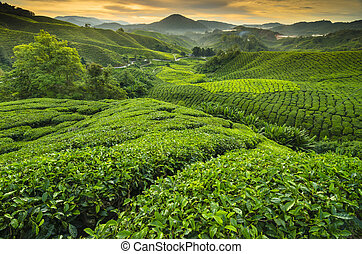 Tea plantation Cameron highlands, Malaysia - Tea plantation...