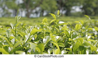 Tea plantation close-up