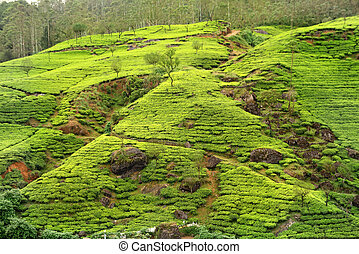 tea plantation countryside