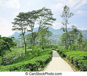 tea plantation emerald green in the mountains of Sri Lanka...