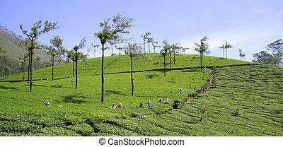 tea plantation farm. south india