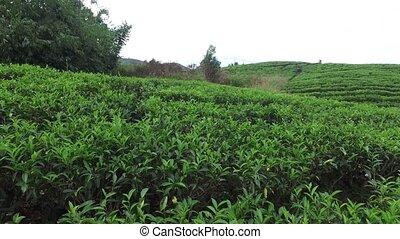tea plantation field on Sri Lank - agriculture, farming and...