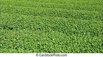 Tea plantation in Chiang Mai, Thailand. Video 4k