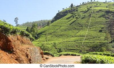 Tea plantation in Nuwara Eliya,Ceylon.
