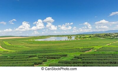 Tea plantation in Thailand.