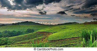 Tea plantation in Uganda, rainy season