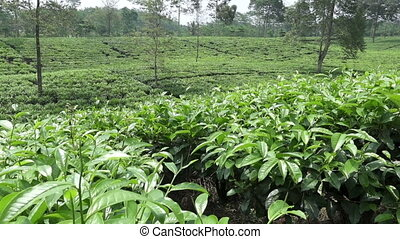Tea plantation in Wonosobo. Indonesia, Java