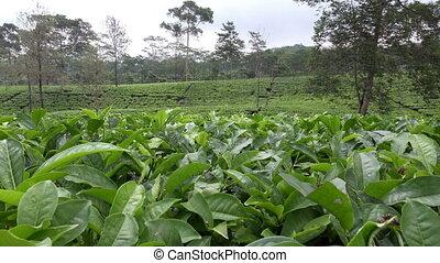 Tea plantation in Wonosobo. Indonesia, Java - Tea plantation...