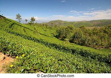 Tea plantation landscape - Wide angle shot of a vivid green...