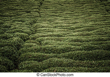 Tea Plantation on a Hillside - Day time view of a tea ...