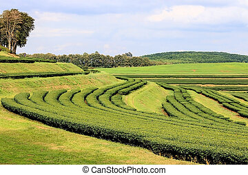 Tea plantation on the hills
