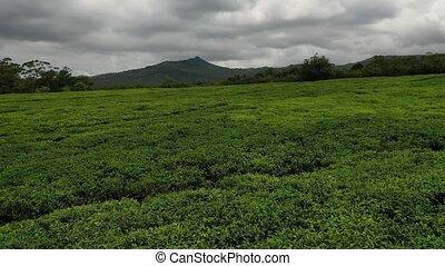 Tea plantation on the island of Mauritius.