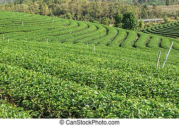 Tea plantation on the mountain