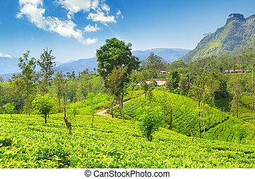 tea plantation on the picturesque hills