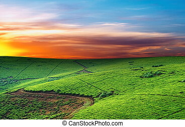 Tea plantation in Uganda, colorful dawn
