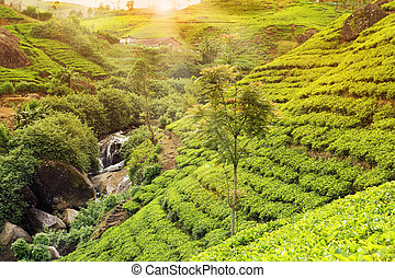 tea plantation sunset