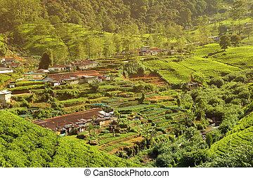tea plantation village