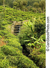 tea plantation with creek