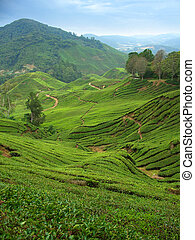 Tea plantations in Cameron Highlands, Malaysia, vertical