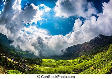 Tea plantations in India - Landscape of the tea plantations...