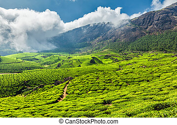 Tea plantations in India - Scenic green tea plantations in...