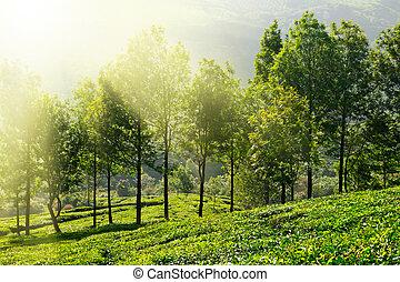 Tea plantations in morning fog. Munnar, Kerala, India