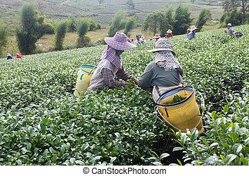 Tea plantations in north of Thailand