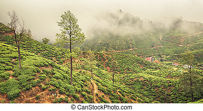 Tea plantations. Sri Lanka. Panorama