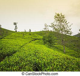 Tea plantations. Sri Lanka.