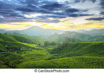 Tea Plantations. - Tea Plantations at Cameron Highlands...