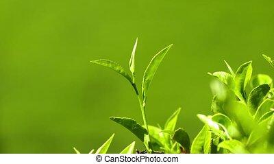 tea plants close-up in Sri Lanka