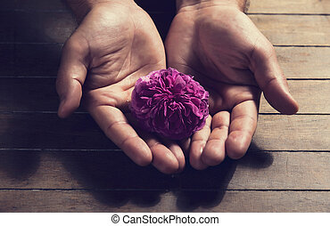Tea rose in human hands