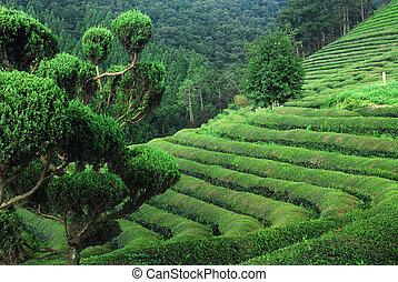 Tea Rows - Curved rows of green tea in Boseong, South Korea.