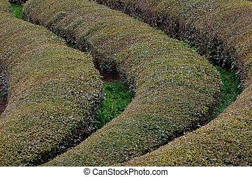 Tea Rows