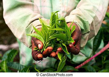 Tea - Woman hand holding tea leaf