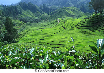 Tea plantations and declining hills in Cameron Highlands Malaysia