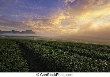 Tea terrace field in Chiang Rai, Thailand.