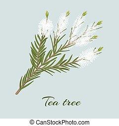Tea tree or Melaleuca alternifolia blossoming twig
