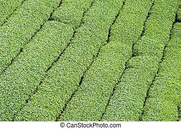 tea trees in row